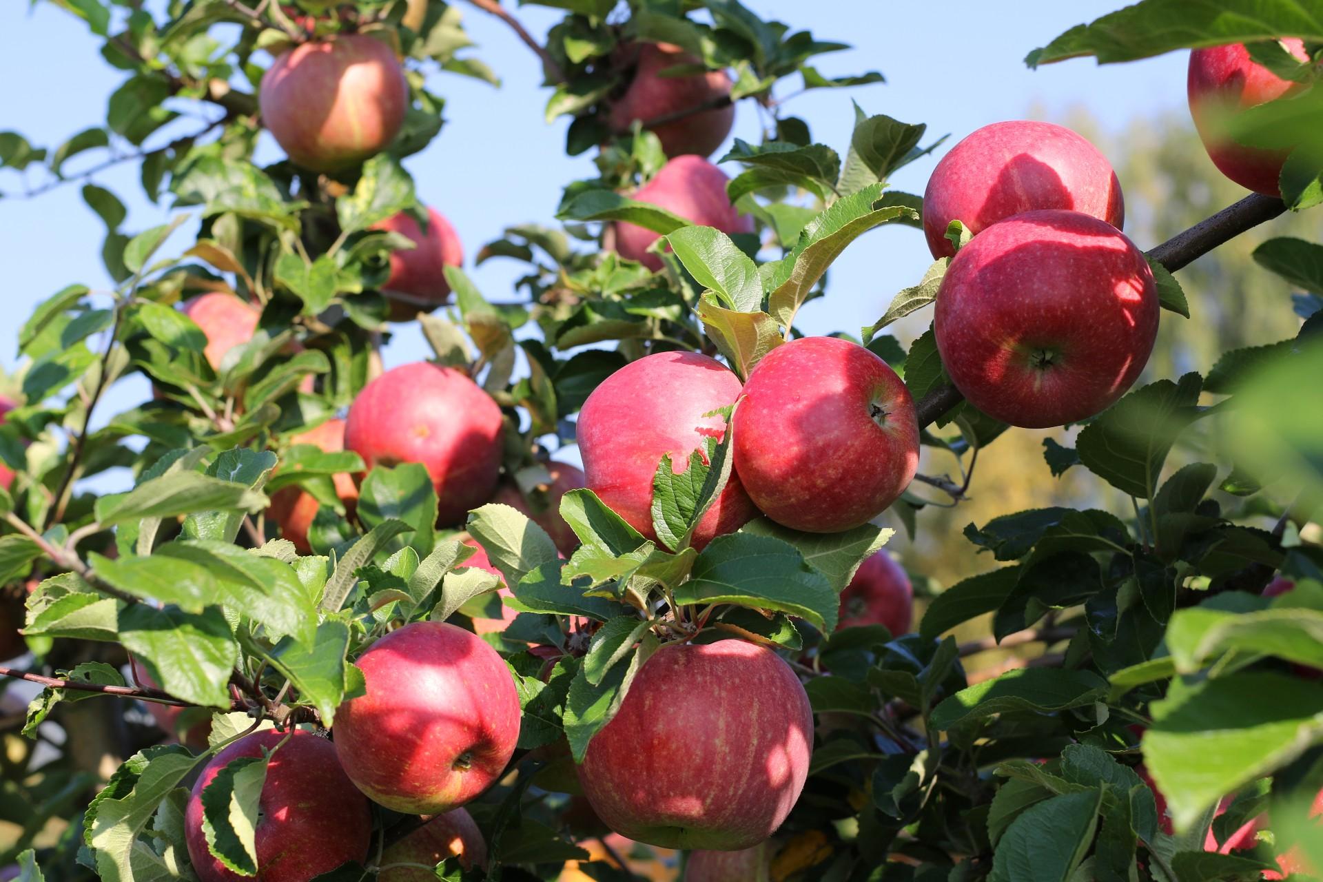 Epler på epletre